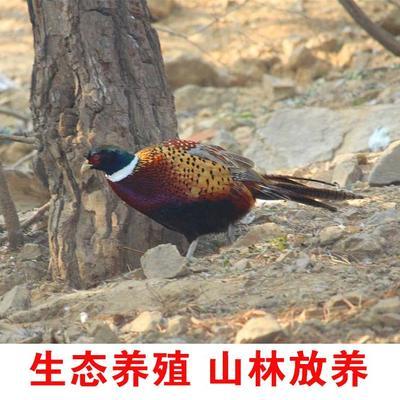 山西省太原市小店区红腹锦鸡