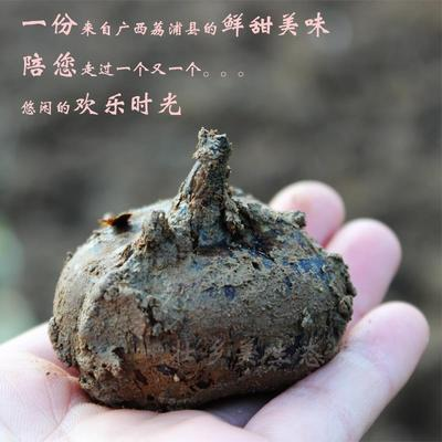 广西桂林荔浦马蹄 大号
