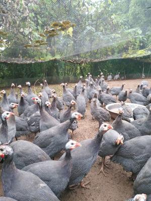 四川泸州灰色珍珠鸡 2-4斤