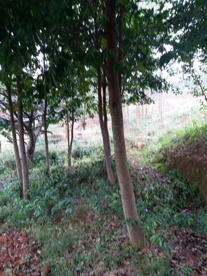 广西钦州土沉香