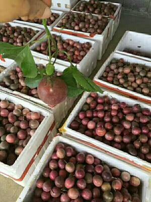 广西桂林全州县紫红色百香果 60 - 70克