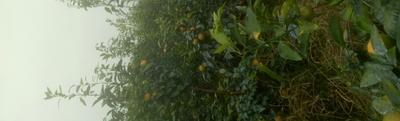 广西壮族自治区钦州市灵山县柑树苗 0.5米以下