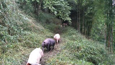 四川乐山土杂猪 200-300斤