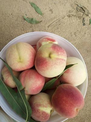 山东青岛映霜红蜜桃 80mm以上 4两以上