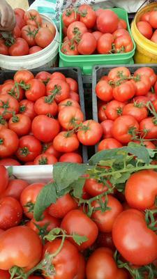 山东日照大红西红柿 不打冷 大红 弧三以上