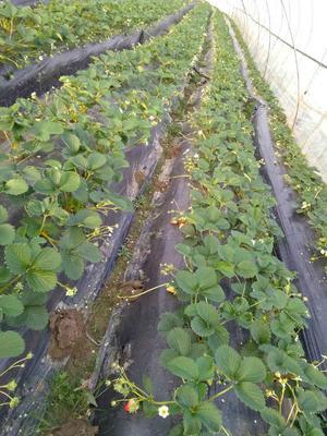江苏无锡有机草莓 20克以上