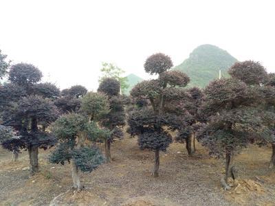 广西桂林临桂县黑珍珠红继木