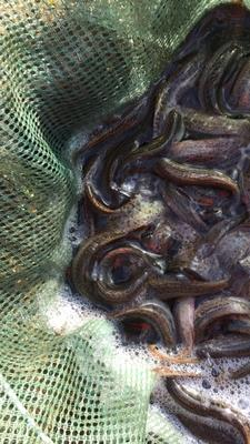 广东佛山南海区台湾泥鳅 10-15cm 人工养殖