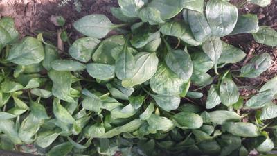 河南周口越冬菠菜 20~25cm