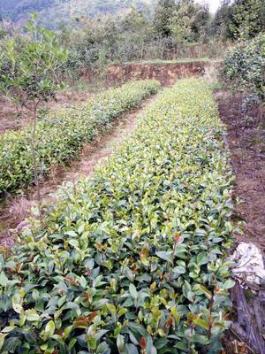 这是一张关于茶花1一15公分直劲 50~80cm的产品图片