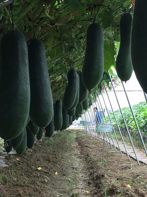 四川省成都市金牛区子弹头黑皮冬瓜 25斤以上 黑皮