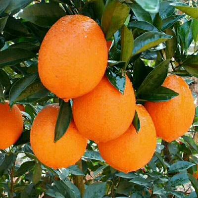 这是一张关于秭归脐橙 70-75mm 4-8两 橙子   秋橙---九月红 五斤装的产品图片