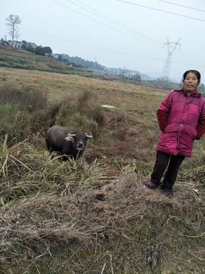 这是一张关于水牛 400-600斤 母牛的产品图片