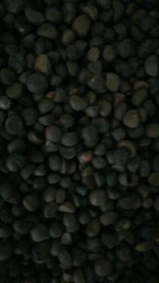 湖南怀化野山茶籽