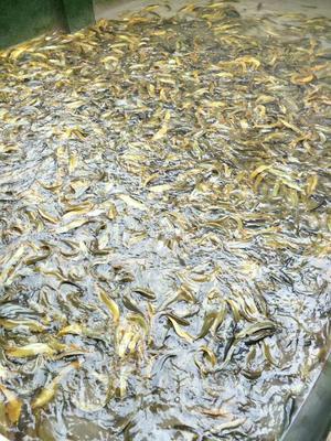 广西玉林土鲶鱼 人工养殖 0.5龙8国际官网官方网站以下