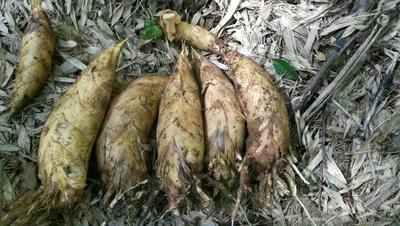 湖南郴州冬笋 17~21cm 鲜笋