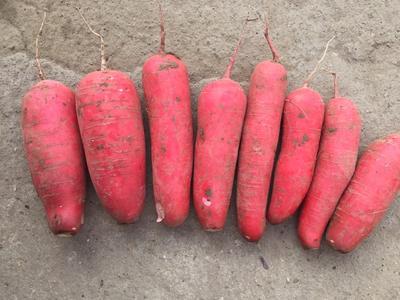 江苏淮安红皮萝卜 0.2~1斤