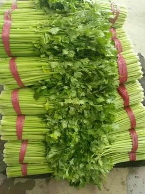 河北省邯郸市永年县皇妃芹菜 55~60cm 大棚种植 1.0~1.5斤