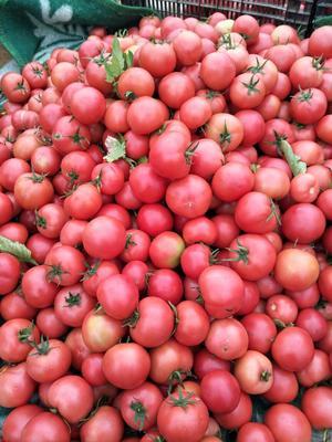 云南玉溪峨山彝族自治县粉果番茄 打冷 硬粉 弧二以上