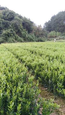 这是一张关于马水桔苗 嫁接苗 0.35~0.5米的产品图片