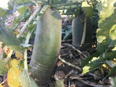 内蒙古自治区锡林郭勒盟锡林浩特市水果萝卜 2~2.5斤