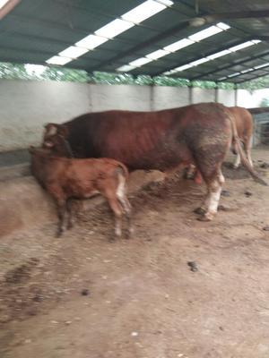 这是一张关于改良黄牛 200-300斤 统货的产品图片