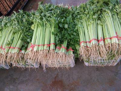 安徽省淮北市相山区美国文图拉芹菜 50~55cm 大棚种植 0.5斤以下