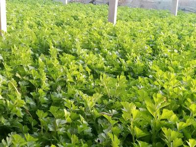 山东省潍坊市安丘市美国西芹 60cm以上 大棚种植 0.5斤以下