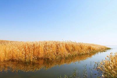 这是一张关于芦苇草的产品图片