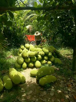 这是一张关于海南菠萝蜜1号 15斤以上的产品图片