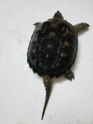 广东茂名电白区鳄龟 20-30cm 4-6斤
