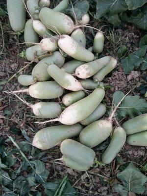 安徽省阜阳市界首市青皮萝卜 1~1.5斤