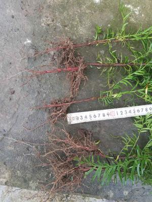 湖北恩施土南方红豆杉 0.5~1米
