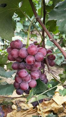 河北石家庄巨峰葡萄 5%以下 1次果 1-1.5斤