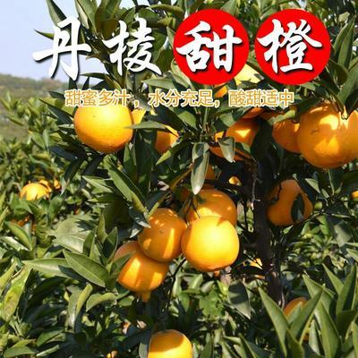 四川眉山脐橙 65 - 70mm 4两以下 供应四川东坡九号脐橙,8斤包邮招代理
