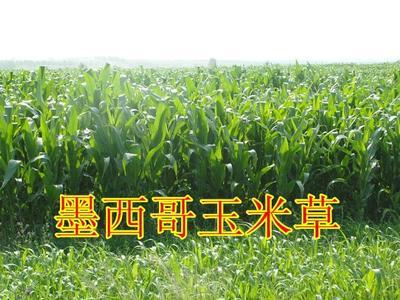 安徽亳州墨西哥玉米草
