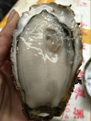 这是一张关于湛江牡蛎 人工殖养 1-3只/龙8国际官网官方网站的产品图片
