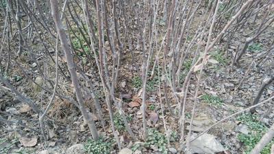 这是一张关于短枝型红富士苹果树苗 2.0~2.5米的产品图片