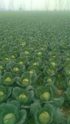 这是一张关于圆包菜 1.5~2.0斤的产品图片
