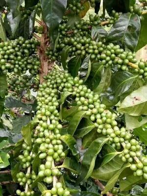 云南思茅宁洱哈尼族彝族自治县普洱小粒咖啡豆