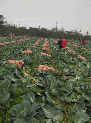 湖南省岳阳市君山区奥奇娜甘蓝 3.0~3.5斤