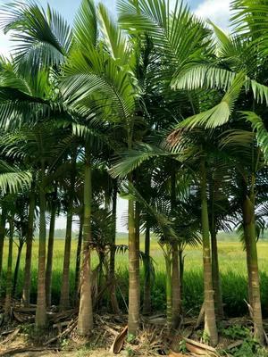广西贵港港南区造型假槟榔树