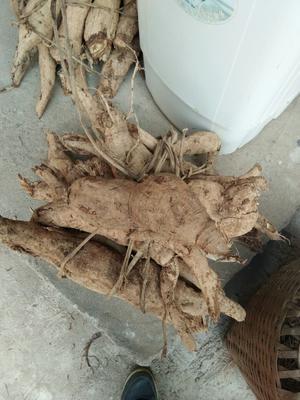江西省上饶市上饶县葛根干 散装 24个月以上