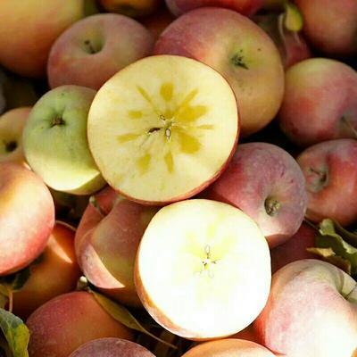 这是一张关于阿克苏冰糖心苹果 光果 条红 80mm以上的产品图片