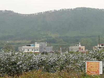 这是一张关于台湾大青枣 直口 50g以上的产品图片