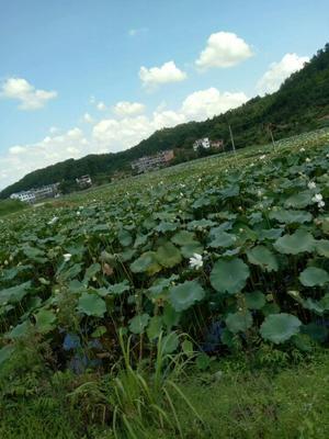 这是一张关于广昌白莲 95%以上 特级的产品图片