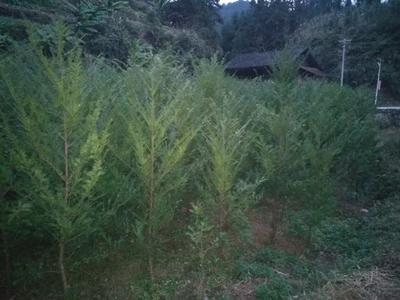 湖南邵阳南方红豆杉 1.5~2米
