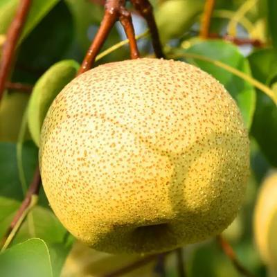 这是一张关于金顶谢花酥梨苗 1.5~2米 梨树苗 金顶谢花酥梨的产品图片