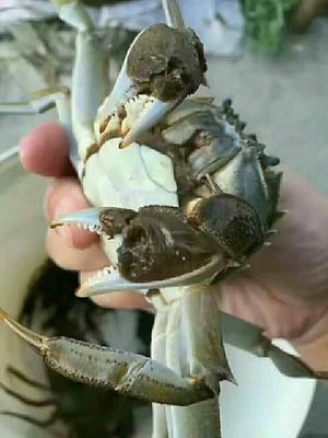 江苏苏州张家港市洪泽湖螃蟹 2.0-2.5两 母蟹