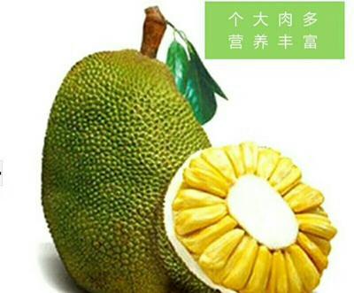 这是一张关于海南菠萝蜜2号 15斤以上的产品图片